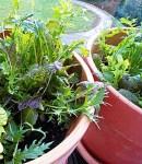 salad-growing-on-a-balcony