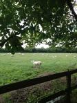 Lleyn sheep Rush Farm