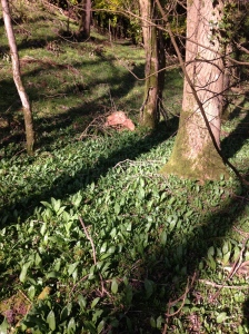 Foot of tree, wild garlic grows