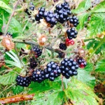 Blackberries on a Bristol allotment
