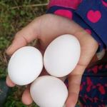 Three freshly-laid eggs in a child's hand at Huxhams Cross Farm