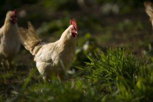 White leghorn chickens at biodynamic Huxhams Cross Farm
